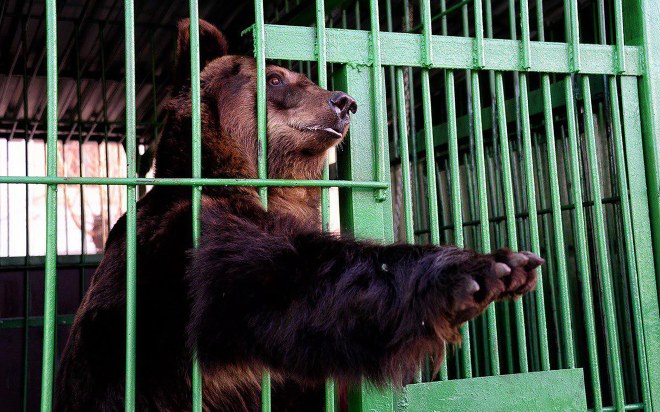 One of her bears reaches out of his cage