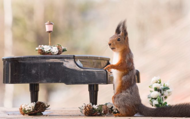A talented squirrel takes to the piano
