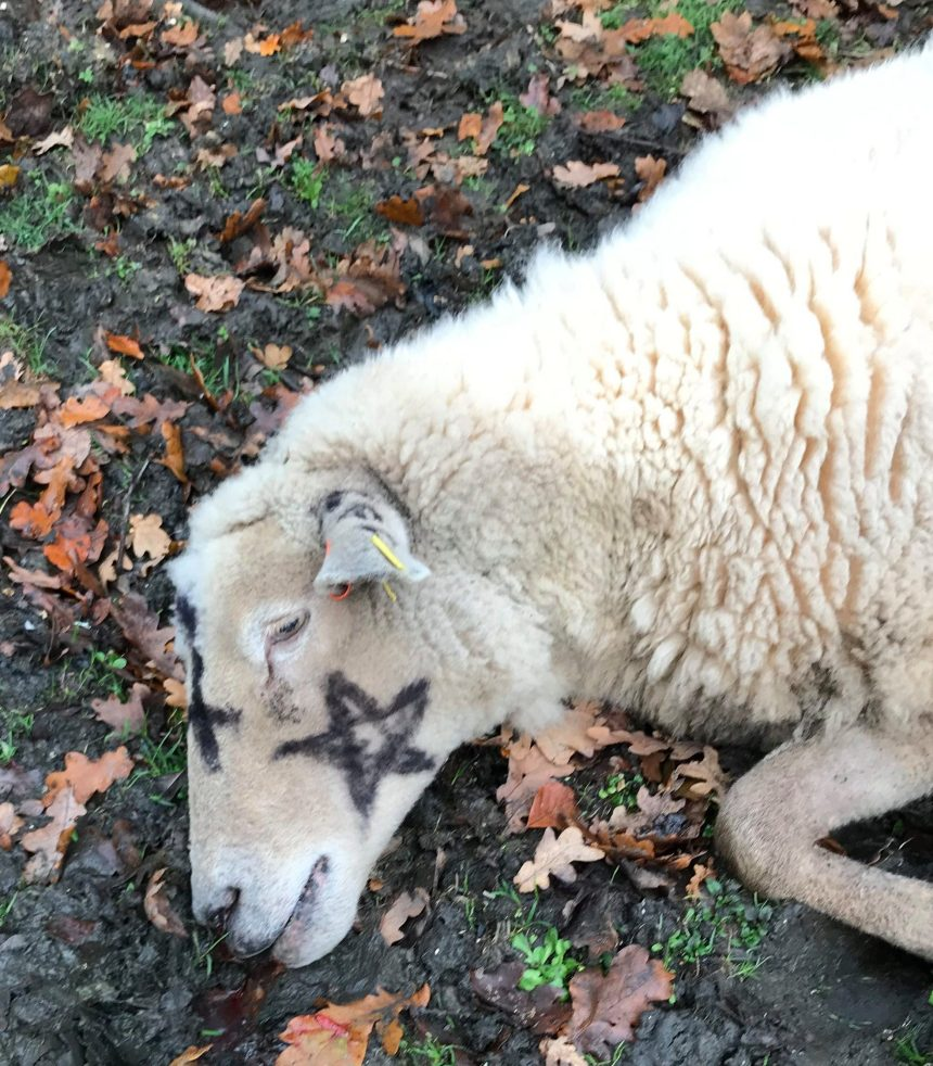 The sheep were found sprayed with a star symbol on them