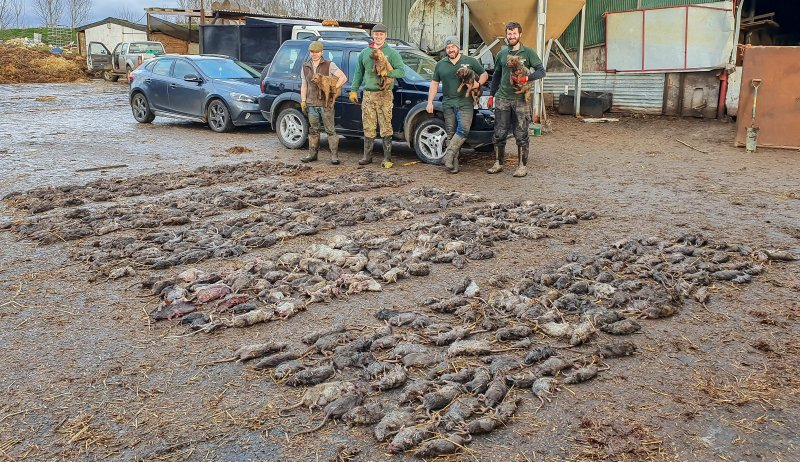 The pack of dogs caught 730 massive rats on the pig farm