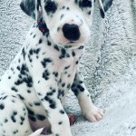 Dalmatian Pups Cuddle Up For A Nap After Their Mom Spent 15 Hours In Labor
