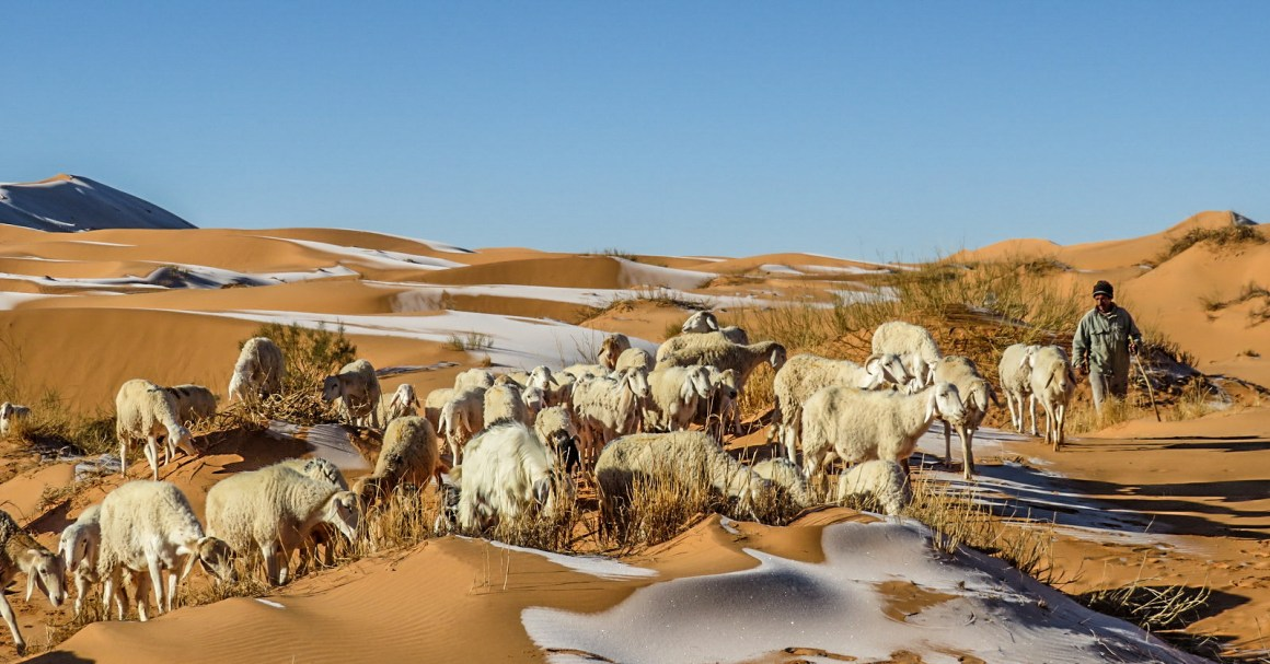 Sheep standing on the ice-covered dunes in Aïn Séfra