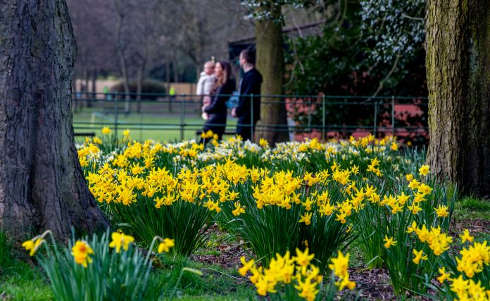 Daffodils in bloom at Birkenhead Park, Wirral