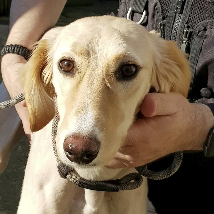 One of the nine dogs seized in Operation Collar