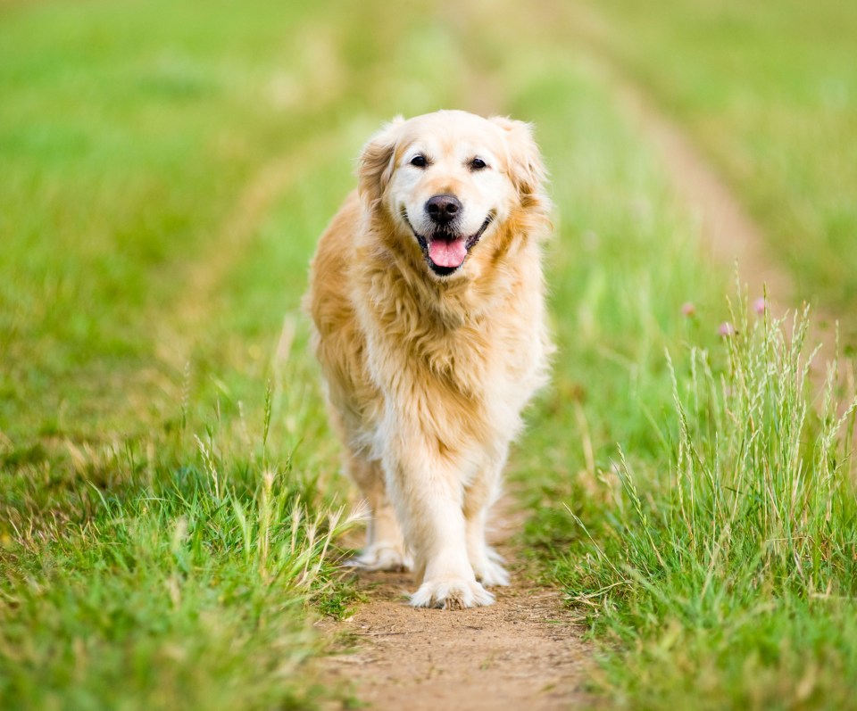Sean helps a golden retriever who was attacked last year