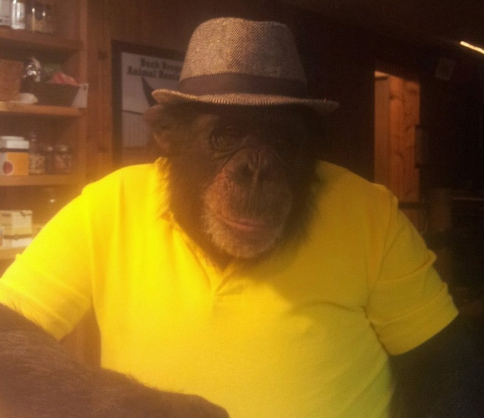 Buck the chimp had lived on a ranch in Oregon for 17 years when he attacked a woman