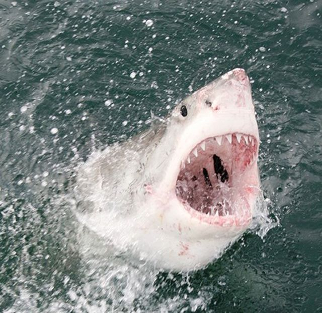 Great white sharks are some of the deadliest animals in the ocean