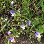 Tricolour violets