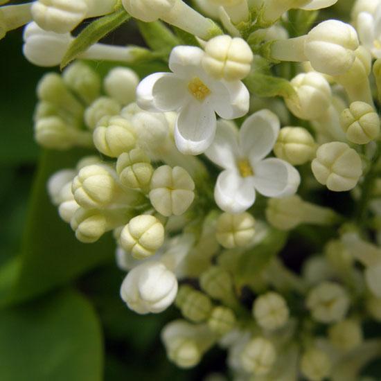 White lilac close up