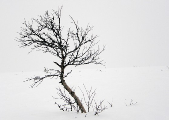 Mountain birch in the snow