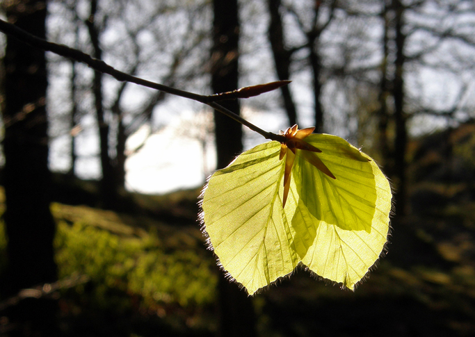 Sun through new beech leaves