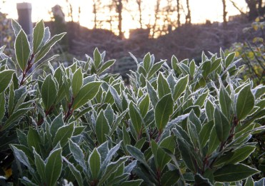 Bayleaves outlined by frost