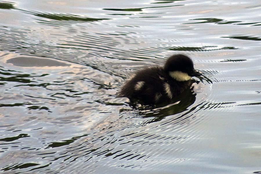 Ducklings: Duckling on Slätta damm May 2018