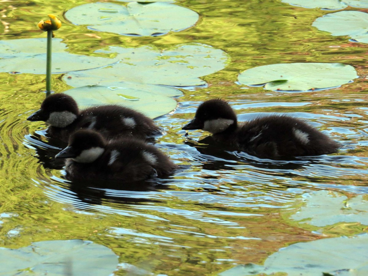 Ducklings on Slätta damm - photo of the week