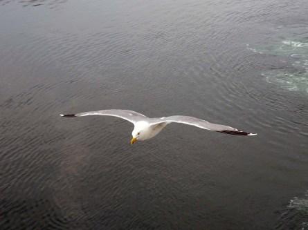 Gull at Fredrikshavn 2