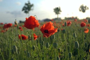 Poppies in Flanders Fields from Wikimedia