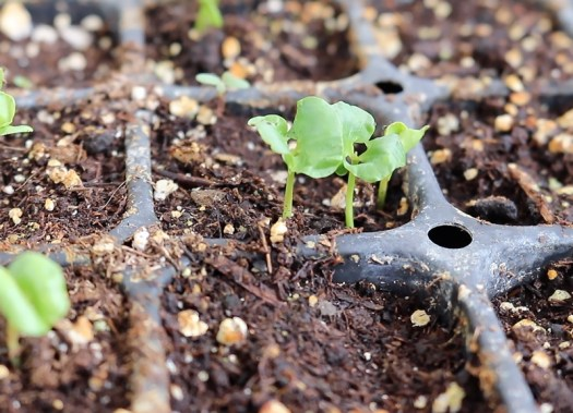 pomegranate seed germination