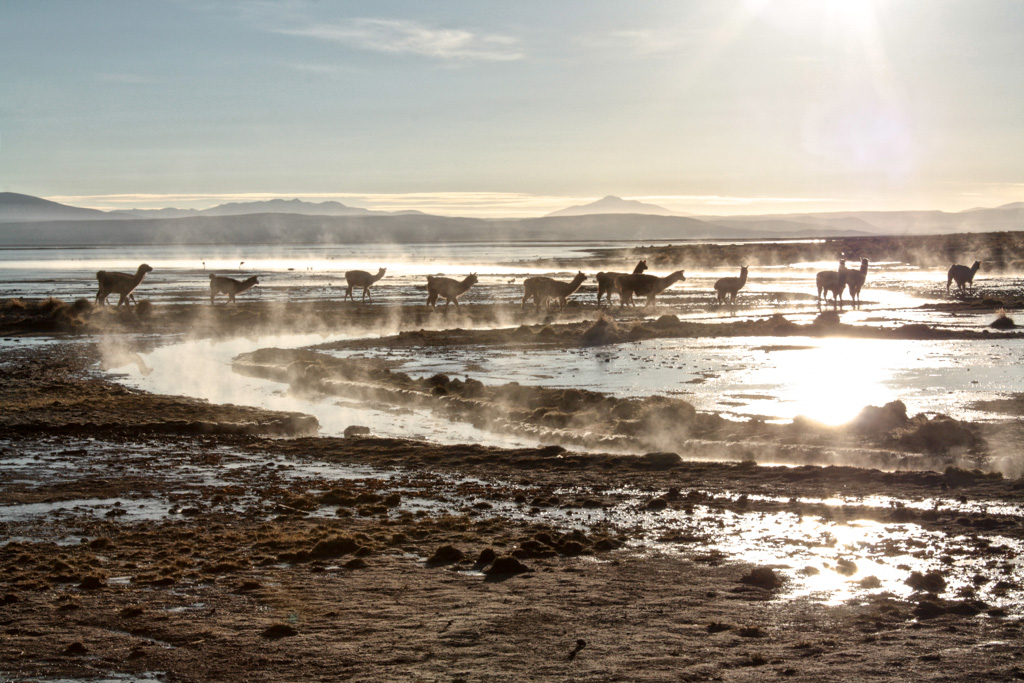 Lllamas and hot springs, Bolivia