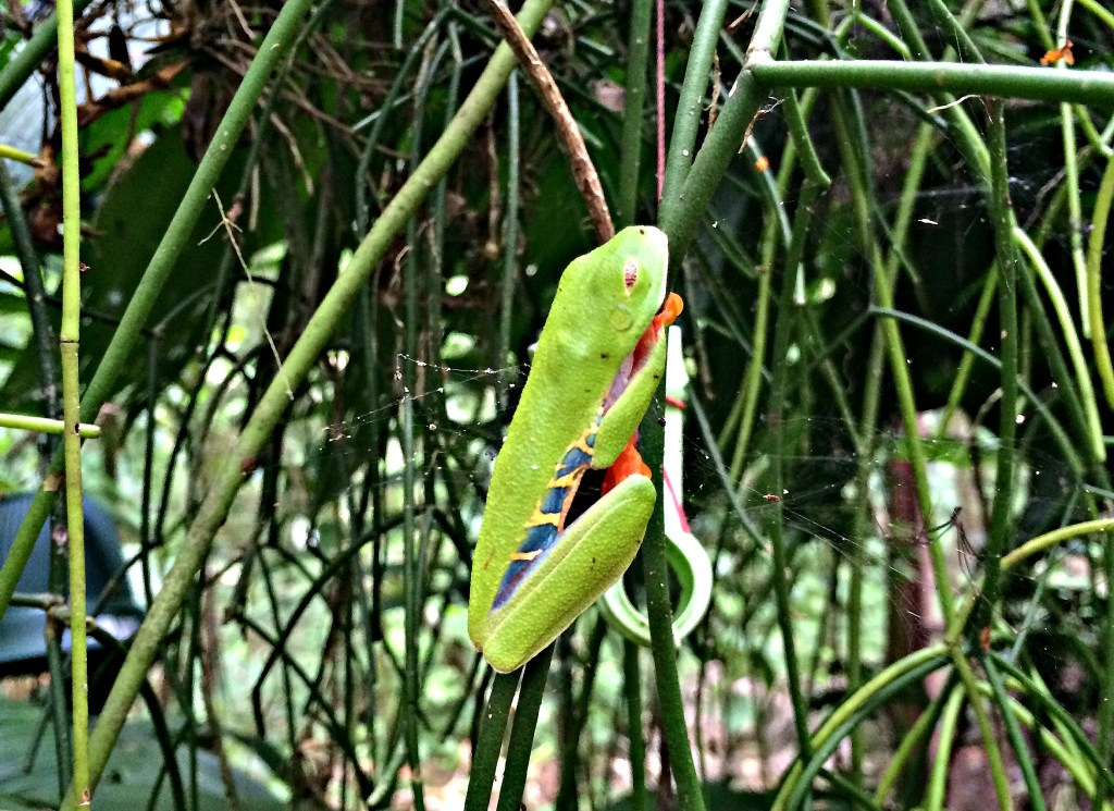 A Red-Eyed Tree Frog at the Jaguar Rescue Center in Puerto Viejo, Costa Rica
