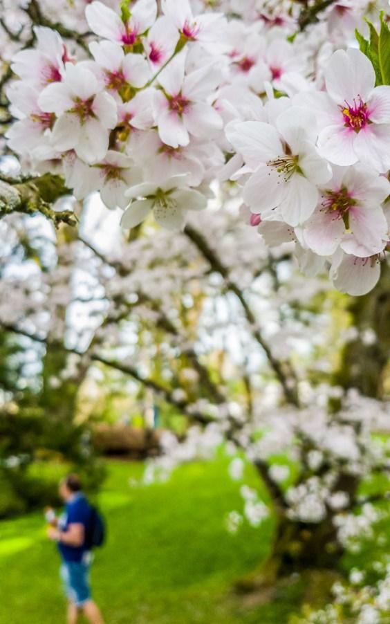 Cherry Blossoms at Mainau Island
