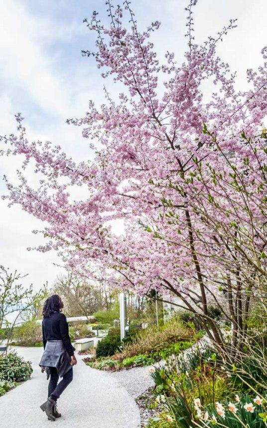 Girl admiringCherry Blossom tree