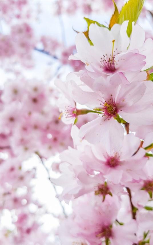 Pink Cherry Blossoms at Mainau Island