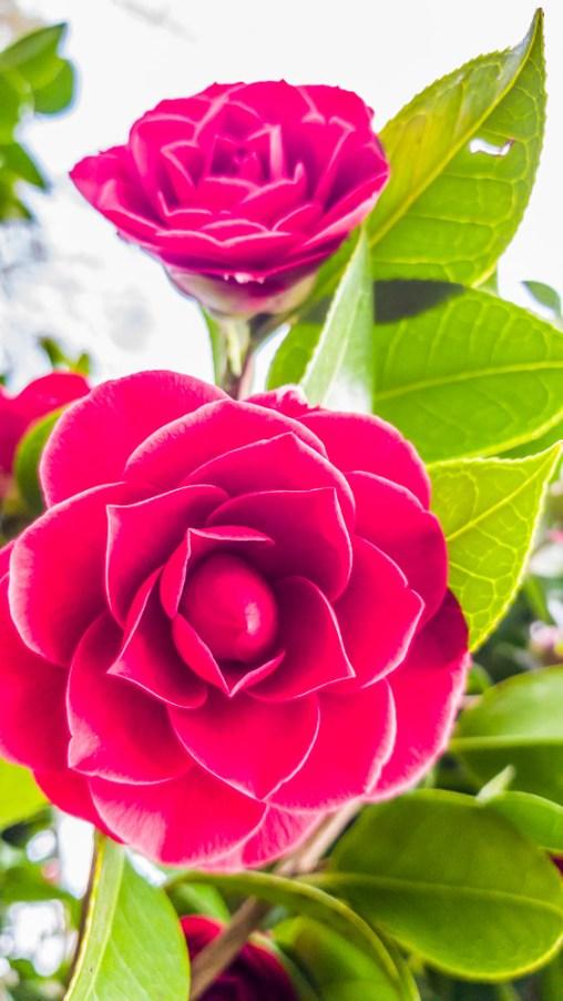 Roses at Mainau Island