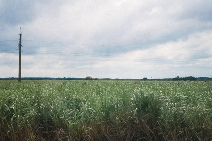 Cane Fields in Cuba