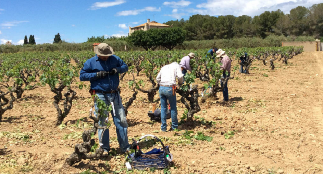 Bodegas Torres Reintroduces Ancestral Grape Variety Thought Gone in the 19th Century