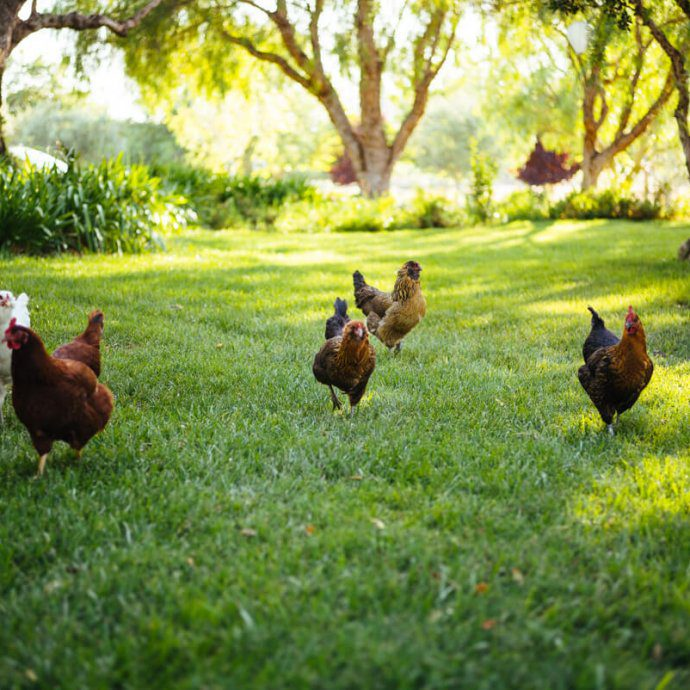 Liquid Farm's Chickens are named after The Golden Girls