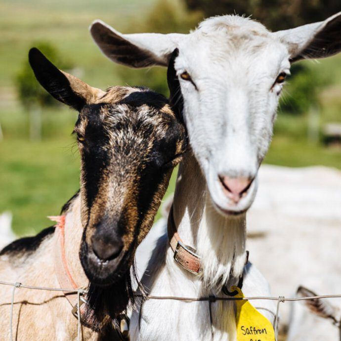 goats from tomales farmstead creamery