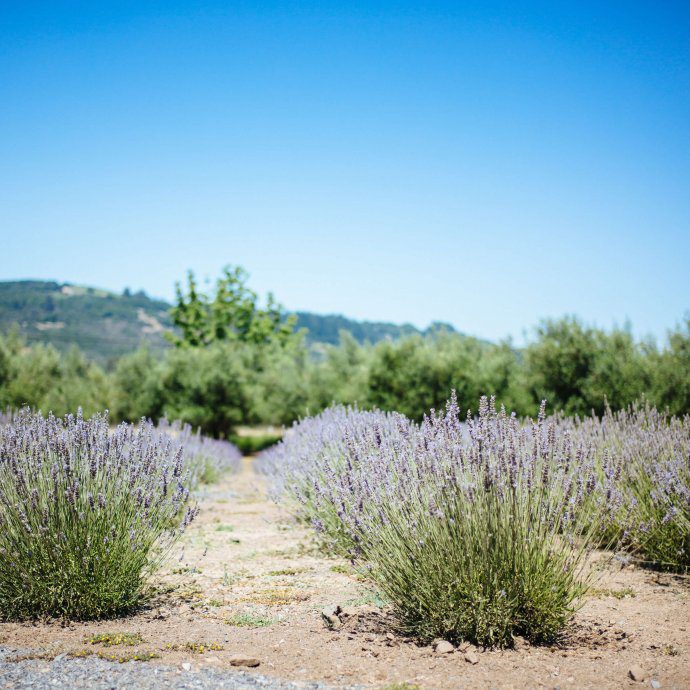 The Taste SF visits the lavender fields with tons of lavender bushes at manzanita in santa rosa sonoma