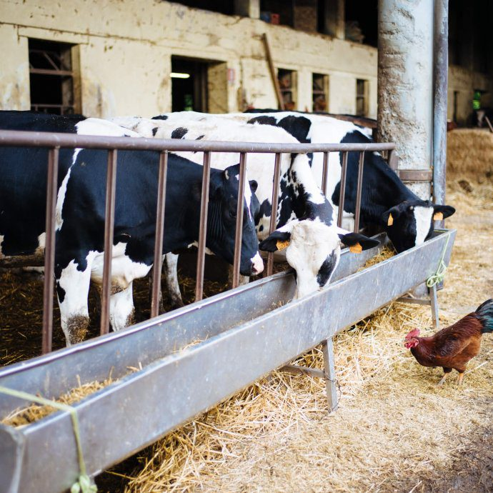 cows who produce milk for cheese at cascina la benedetta in Franciacort Italy, The Taste SF
