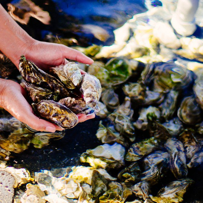One of the only hotels in the United States who is raising their own oysters is the Four Seasons Hualalai to serve at their restaurants in Kona Hawaii, The Taste SF