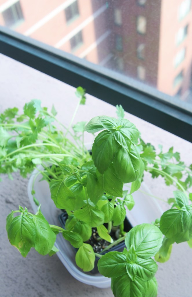 basil-cilantro-plants