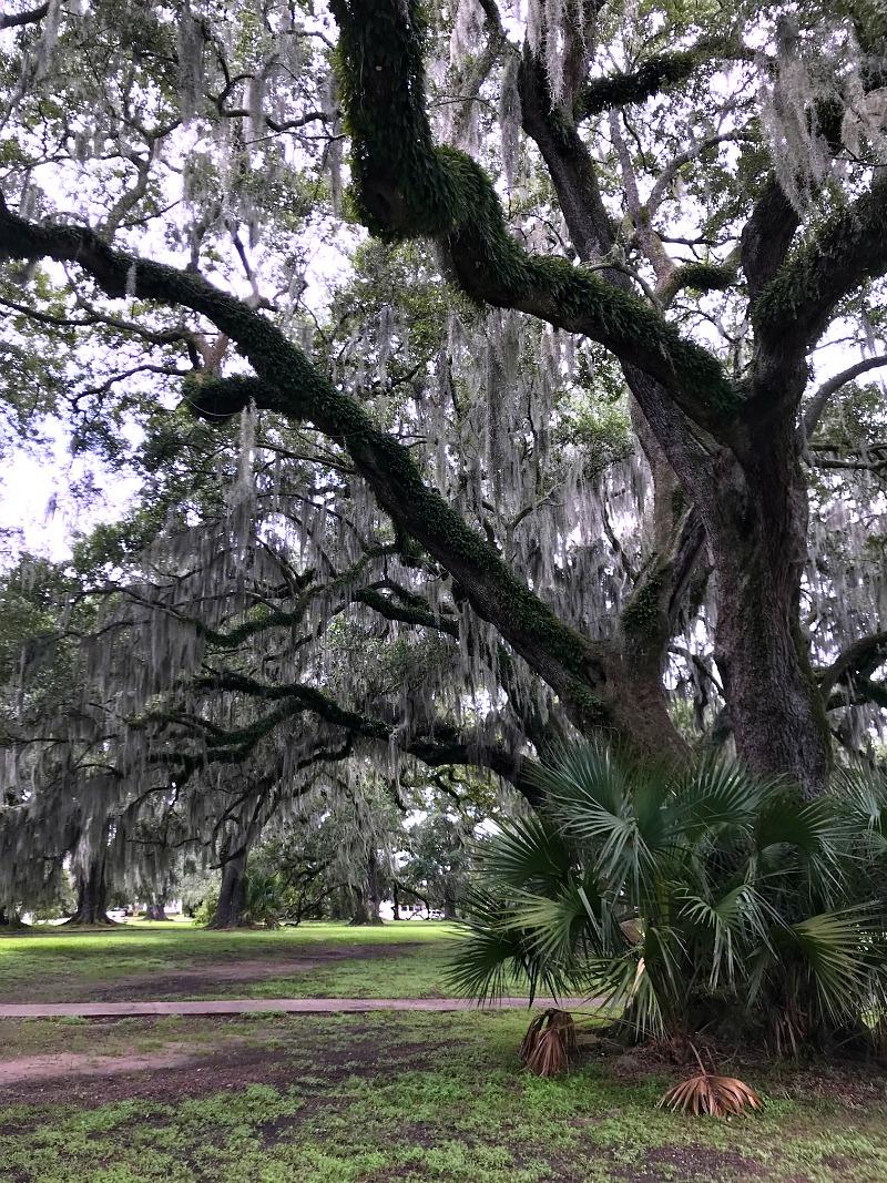 Live Oak trees NOLA City Park