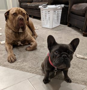 Two dogs-Yoshi and LuLu (A Mastiff and a French Bulldog)