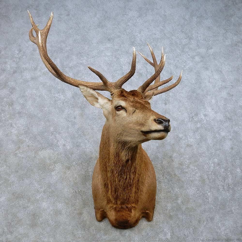 Red Deer Stag Shoulder Mount For Sale 15024 The