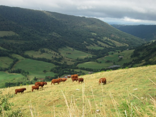 Salers cattle grazing near the Col de Neronne. Photo by The Thinker's Garden