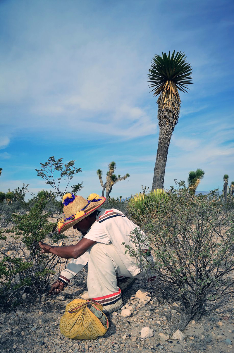 Hunting the peyote at Wirikuta, San Luis Potosí, Mexico. Wirikuta is one of the five sacred lands of the Wixárika People, also known as the Huichol.