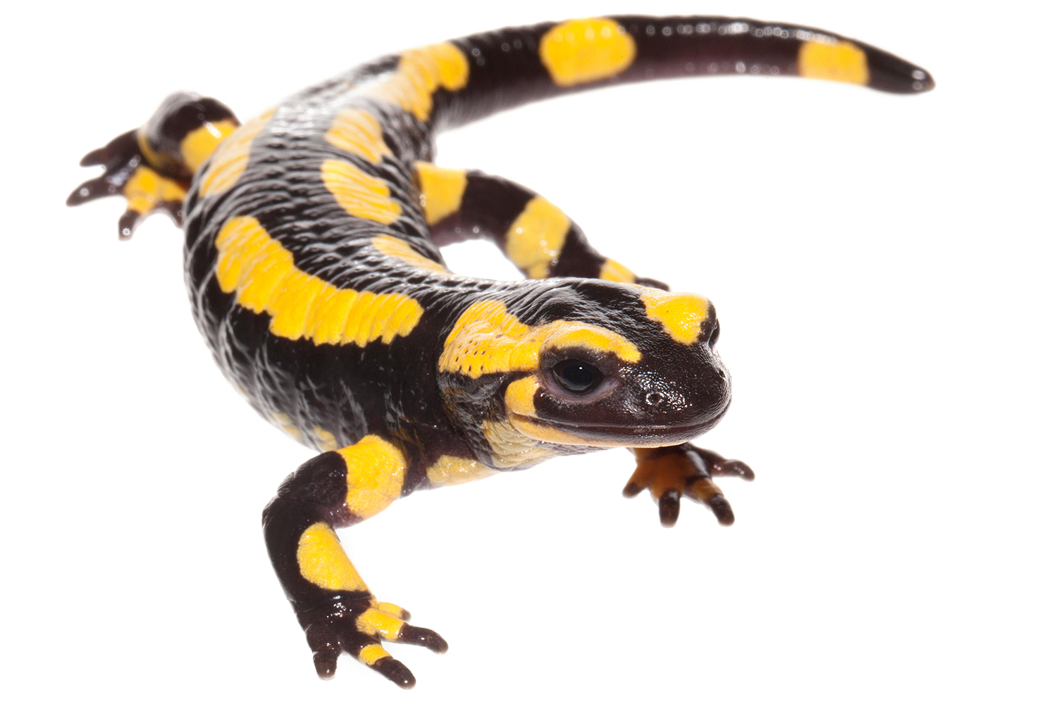 Detransitioners chose the salamander as their mascot because of its ability to regenerate organs and limbs