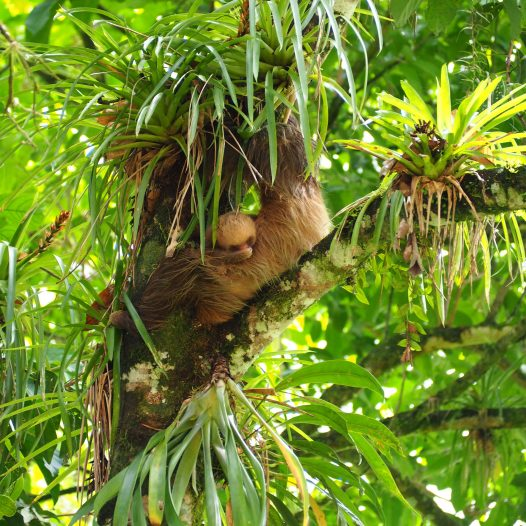 Two toed sloth with a baby scratching the nose, Sarapiqui, Costa Rica