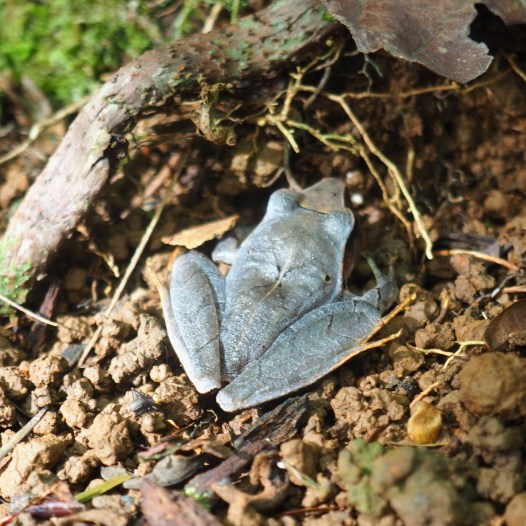 Leaf mimic frog, found by our knowledgable guide
