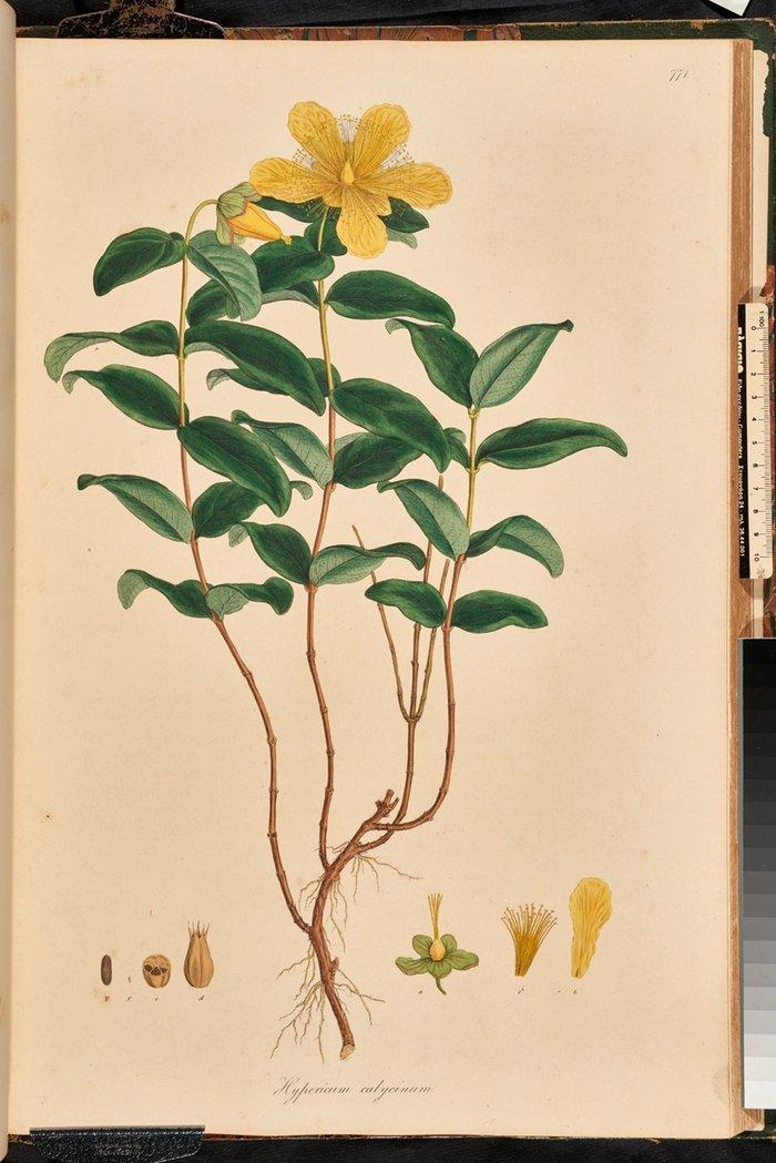 Το φυτό Hypericum calycinum ζωγραφισμένο από τον Ferdinand Bauer από τη Flora graeca του Sibthorp, τόμ. 8, πιν. 771.