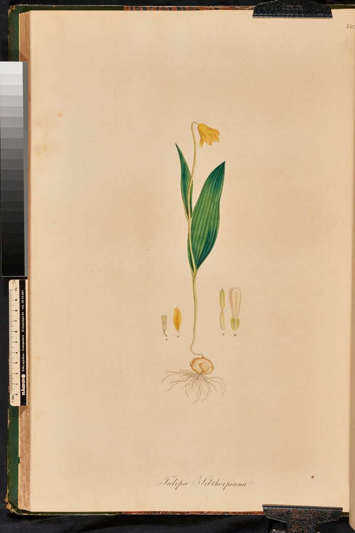 Tulipa (fritilaria) Sibthorpiana