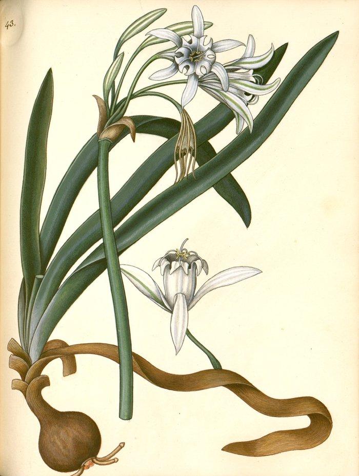 Pancratium maritimum (ή κρίνος της θάλασσας) από χειρόγραφο φυτολόγιο με ογδόντα σχέδια αυτοφυών φυτών της νήσου Κέρκυρας ζωγραφισμένα από τον Gasparo Scola κατά παραγγελία του κόμη του Guilford, Frederick North γύρω στα 1825.