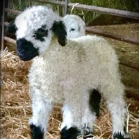 Fluffy white lamb