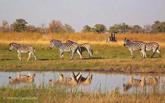 Okavango Delta zebra Botswana