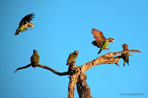 Cape parrot bird kruger south africa