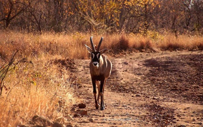 Roan antelope marakele national park south africa sanparks